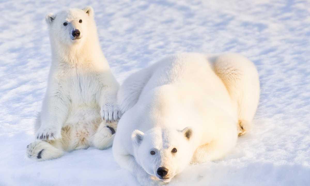 AC_3_AC_RTD_Polar-bears-snow-Arctic-e