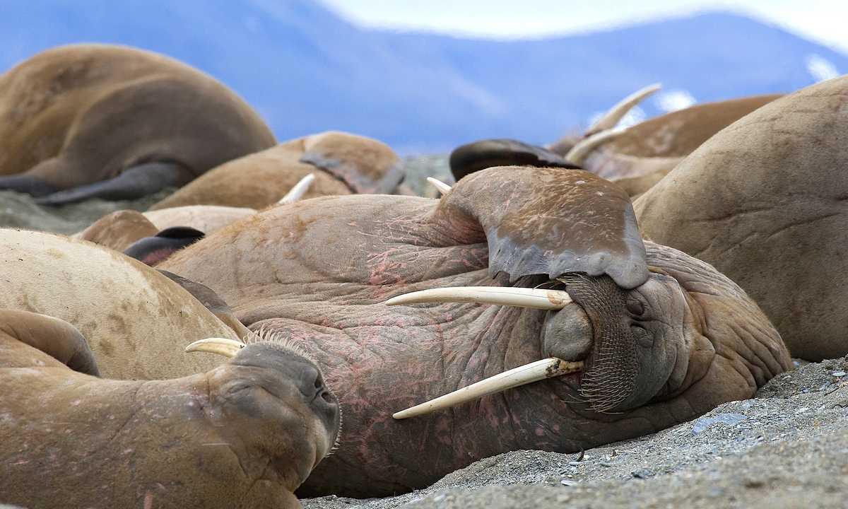 OO_3_Ira-Meyer_RTD_Snoozing-Walrus