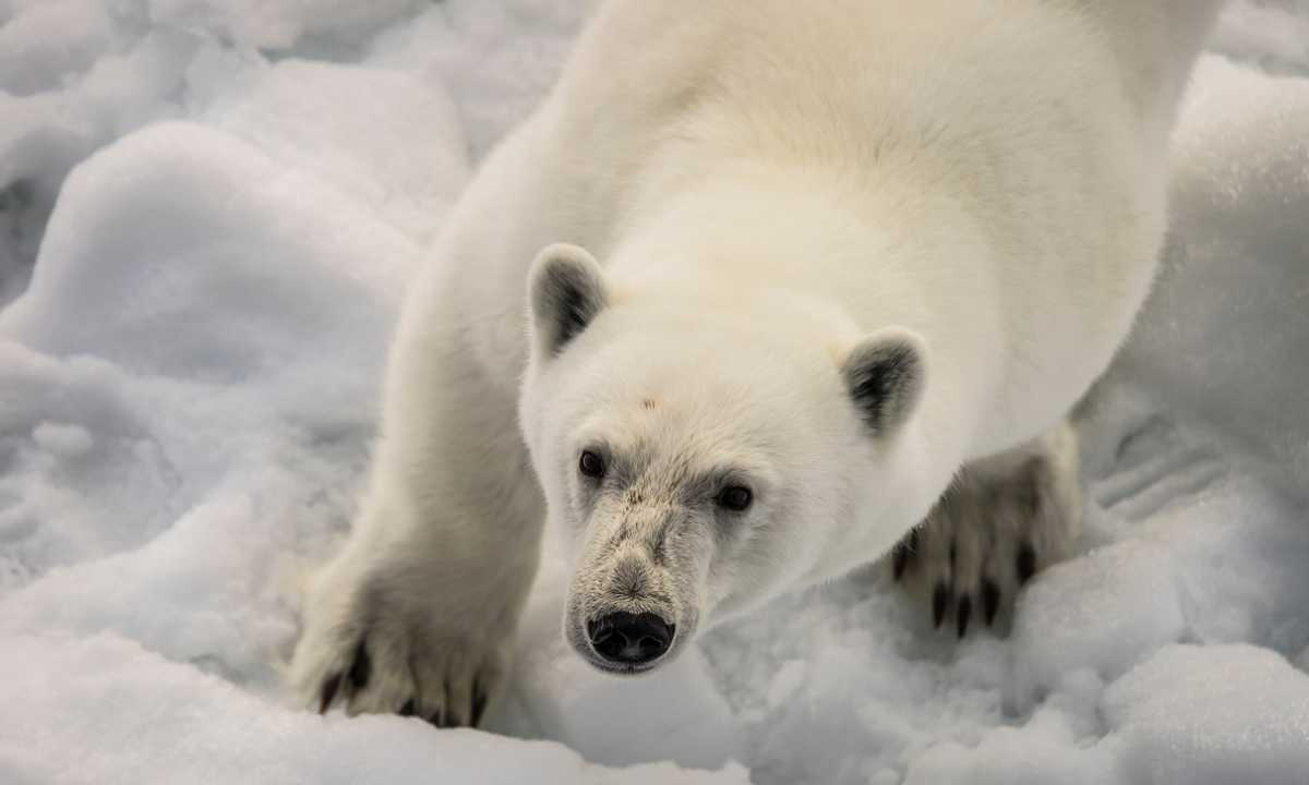 POS_3_POS_RTD_North_Pole_Polar_Bear-e