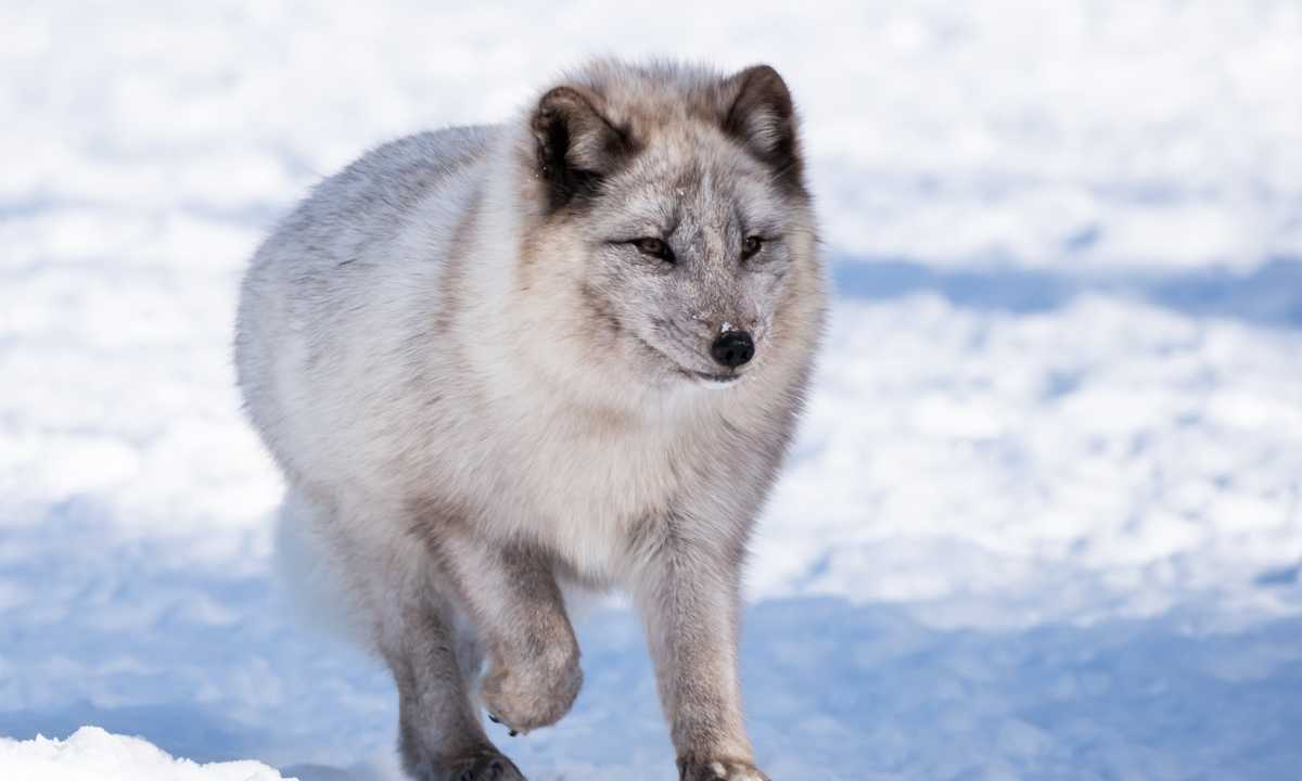 shu_3_shu_rdt_arcticfox