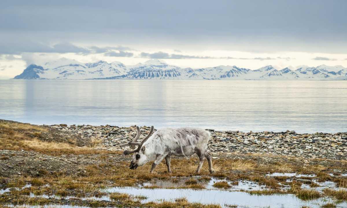 shu_3_shu_rdt_reindeersvalbard