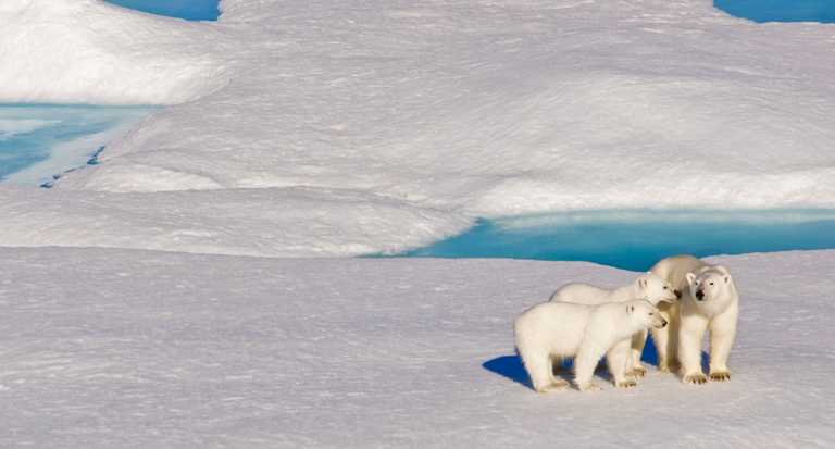SWO_5_Jon_all_polar-bear-nwp