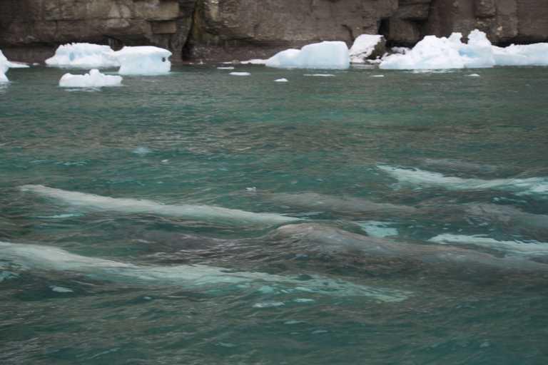 Wildlife-Belugas-Beechey