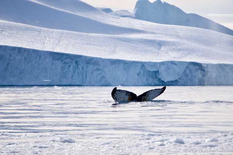 Wildlife-Humpback
