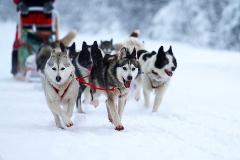 shu_3_shu_rdt_dogsledding3