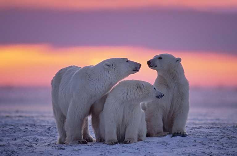 shu_3_shu_rdt_polarbear