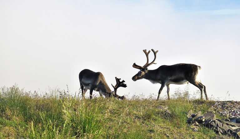 shu_3_shu_rdt_reindeer